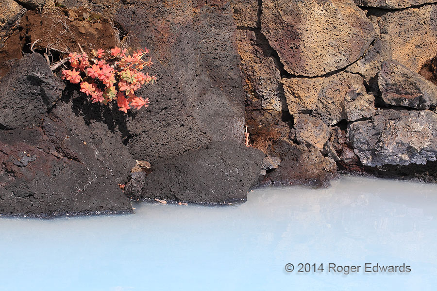 Flowers, Boulders and Blue Lagoon (Iceland)