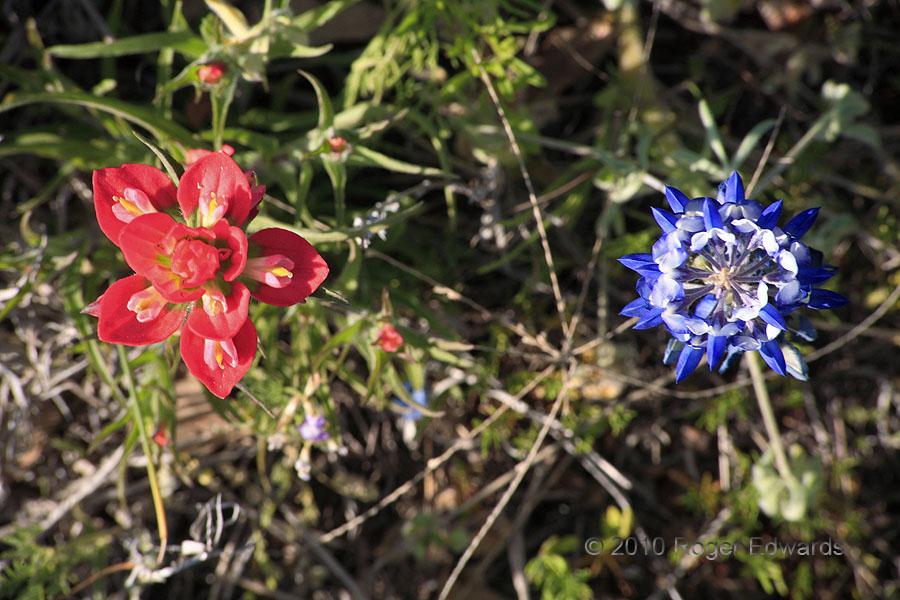 Texas Floral Companions (Paintbrush & Bluebonnet)