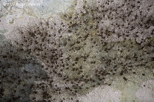 Daddy Longlegs Colony In An Abandoned Oklahoma Castle