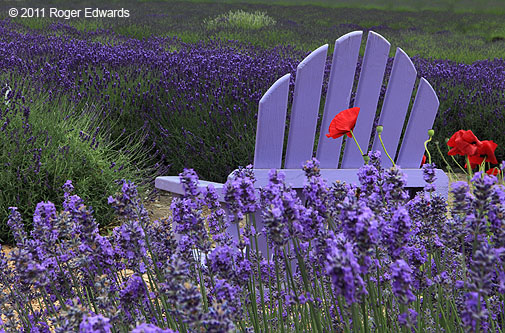 Lavender Chair In Lavender And Poppies, Sequim